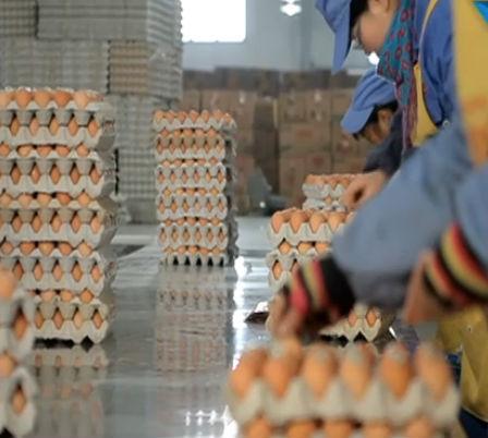 """大连将建""""百万级""""蛋鸡场"""