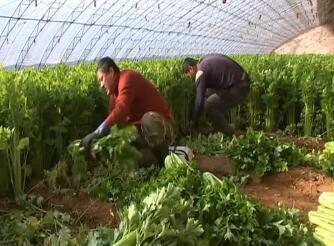 降雪降温未影响地产蔬菜 外运菜价格上涨
