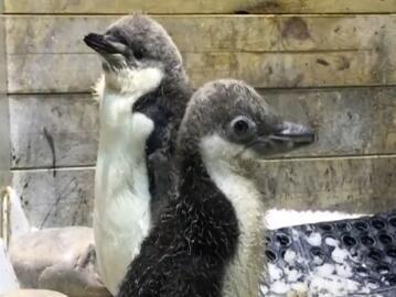 """首对大连籍""""帽带""""企鹅露面"""