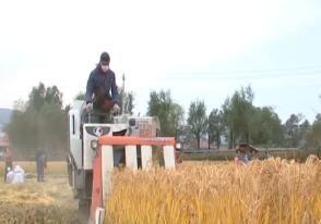 水稻开始收割 秋收进展顺利
