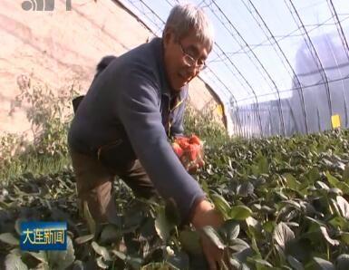 反季草莓陆续成熟 近郊采摘游受青睐