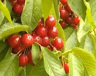 花期遭遇小气候 部分地区樱桃减产