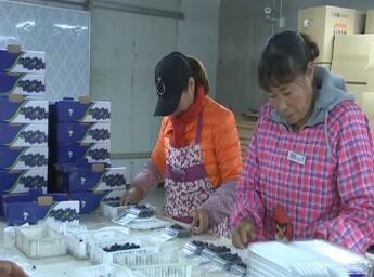 """蓝莓大量上市 成果农增收""""致富果"""""""