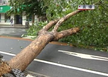 10多米高大树突然倒伏 影响通行