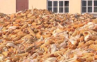 秋收结束 粮食销售全面展开