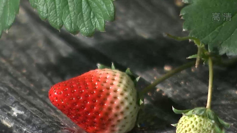 大连草莓提前60天上市