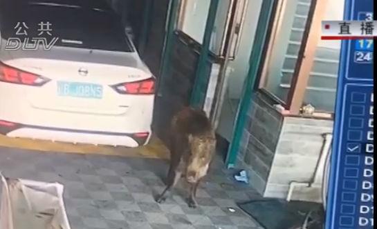 野豬咬傷路人 這筆醫療費該誰來掏