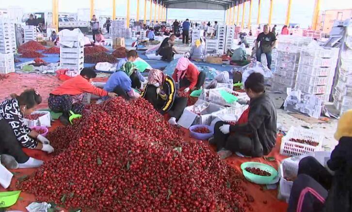 反季大櫻桃生產進入關鍵期