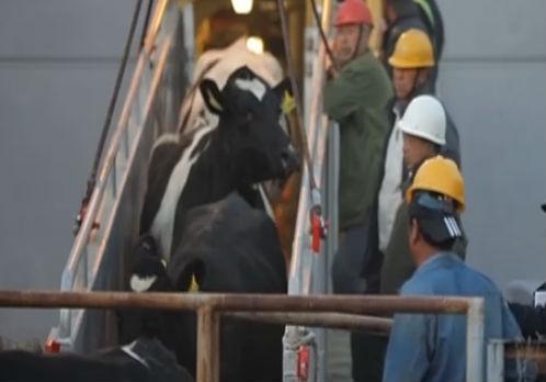 3000余头进口种牛登陆大连口岸