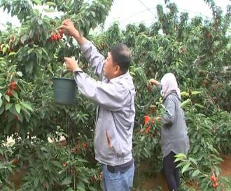 露地樱桃陆续上市 果农迎来丰收季