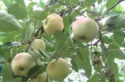 今年苹果喜迎大丰收
