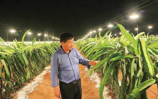 海南儋州中和镇:火龙果基地夜晚变灯海补光技术促火龙果增产增效