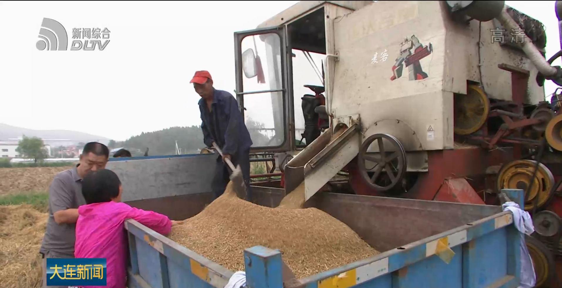 旅顺冬小麦丰产丰收
