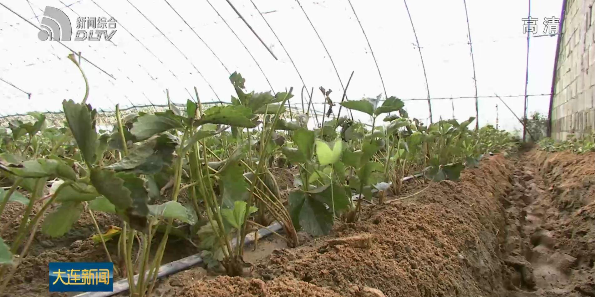 草莓苗托起兩地農民致富夢